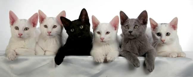 русские голубые котята