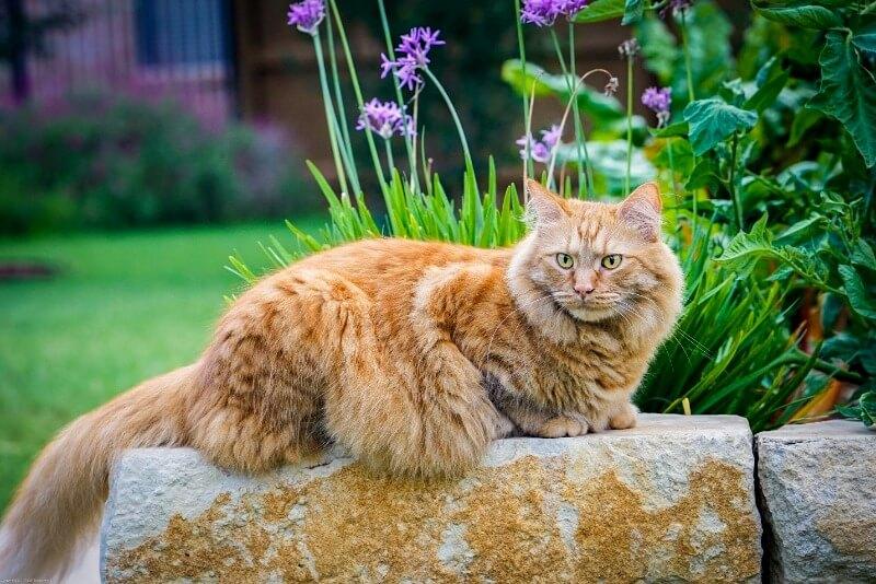 рудий сибірський кіт