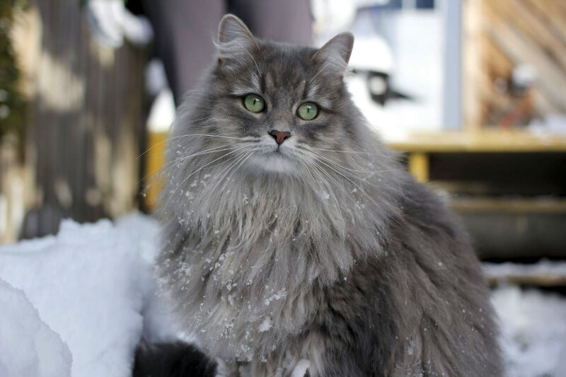 сірий сибірський кіт