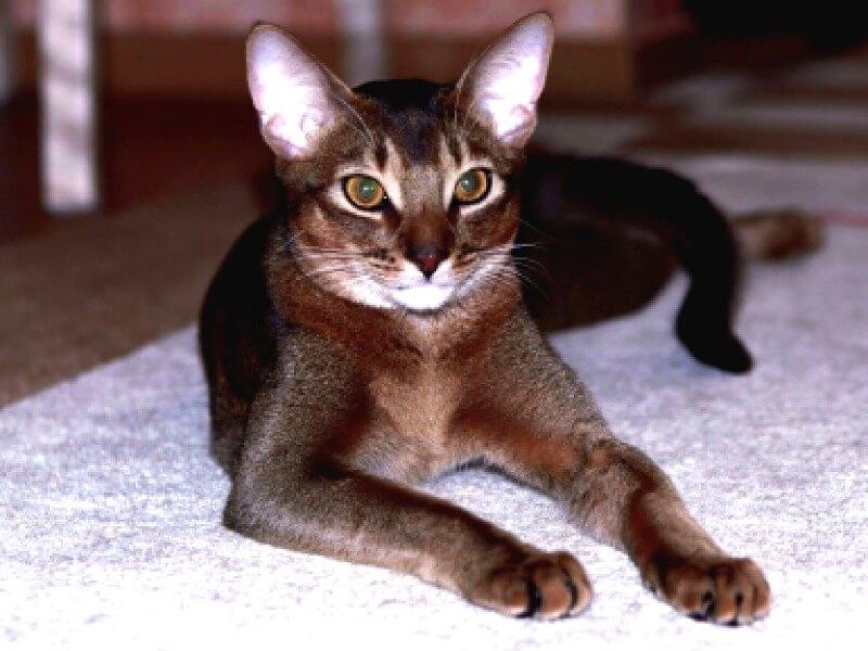 шоколадний окрас абиссінська кішка