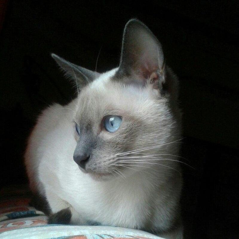 блакитний сіамський кіт