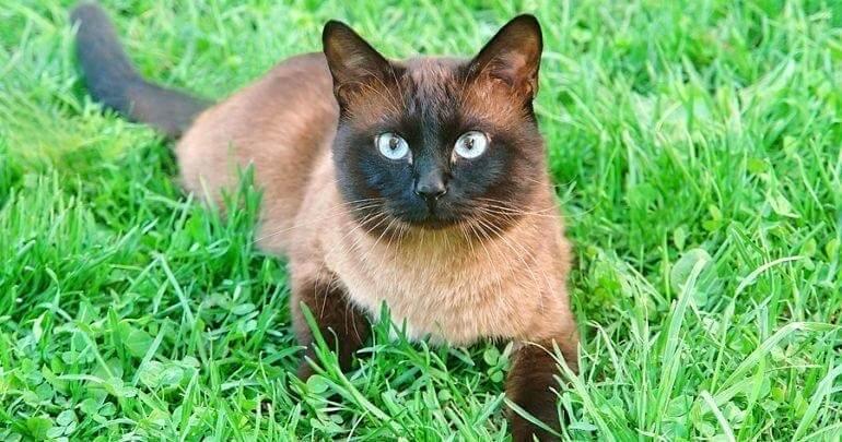 сіамська кішка коричневе забарвлення