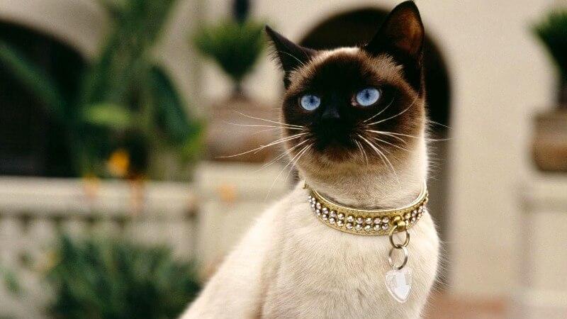 сіамський кіт походження