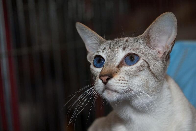 Сіамський кіт сил таббі сильвер