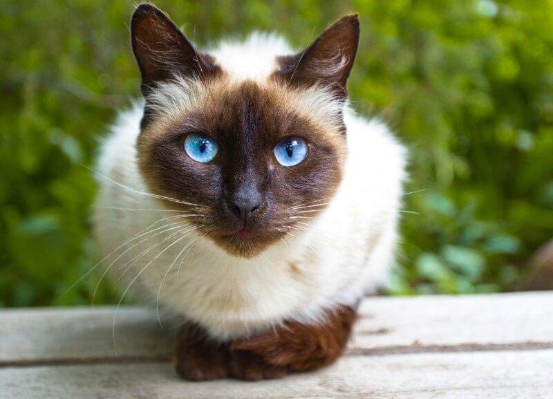 догляд за сіамськими кішками