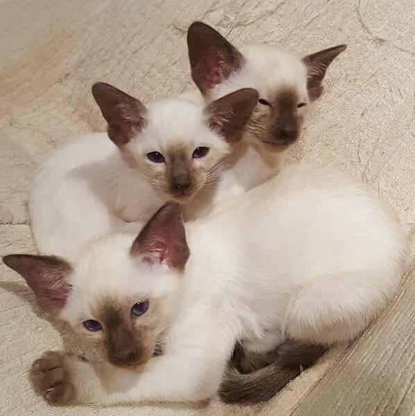 сіамські кошенята колор поінт