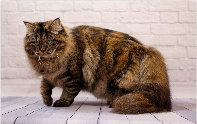 сибирская кошка черепахового окраса