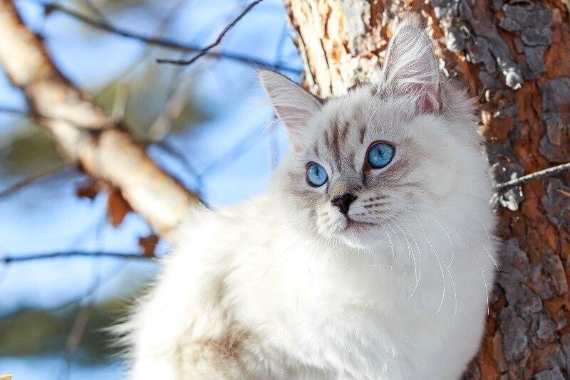 сибирская кошка колор поинт