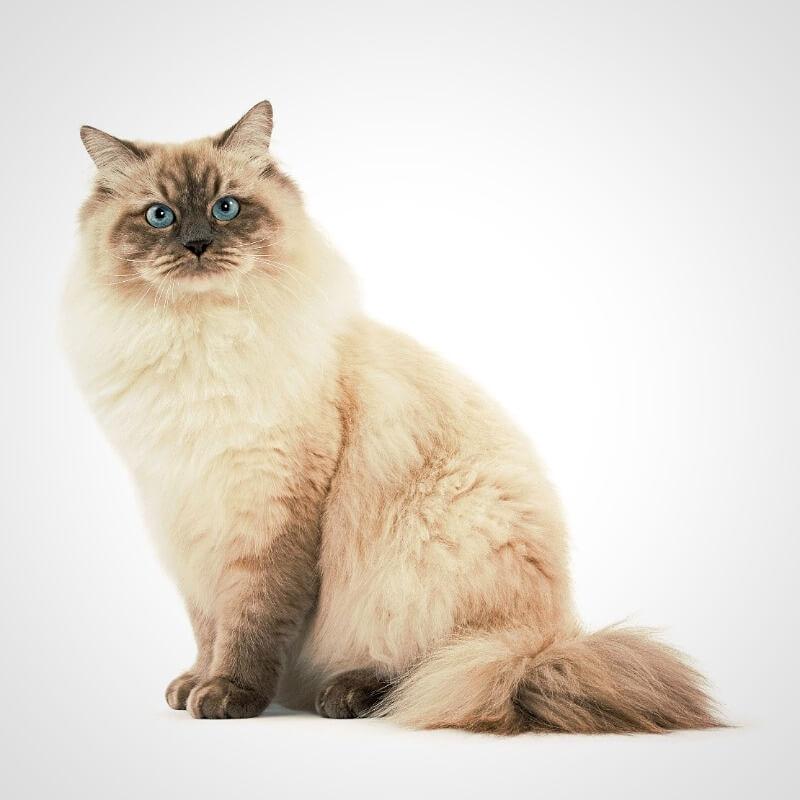 кіт сибірський колор-поінт