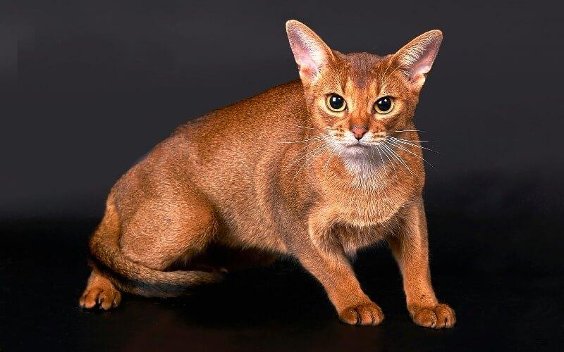 догляд за абіссінськими котами