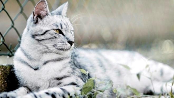 догляд за бенгальськими котами
