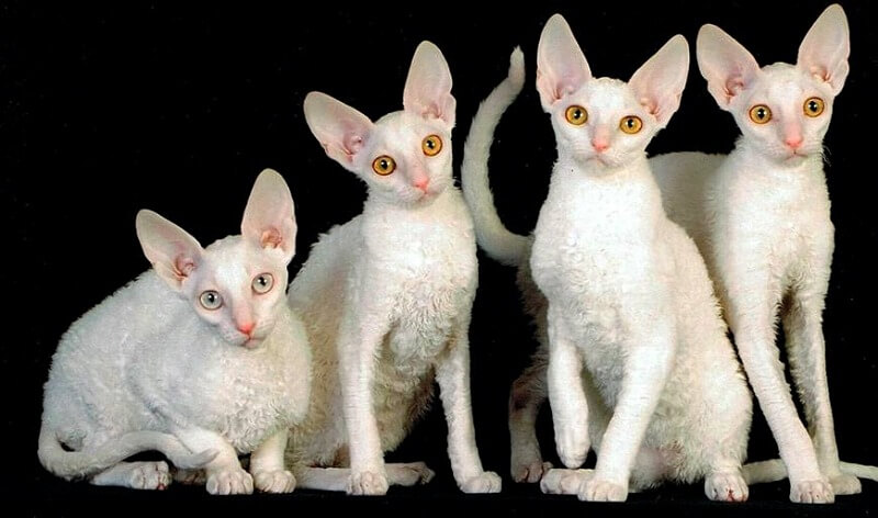 котята корниш рекс белого окраса