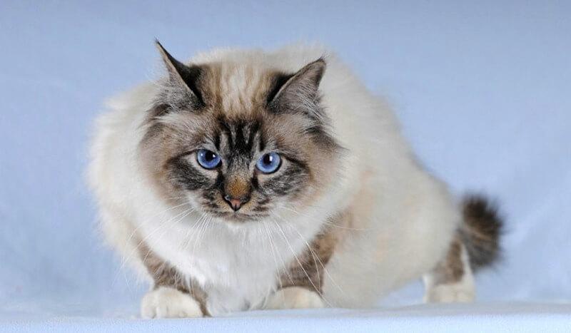 бірманський кіт