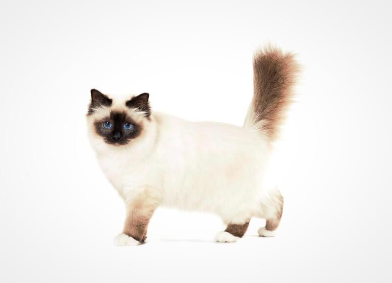 бирманская кошка внешние особенности