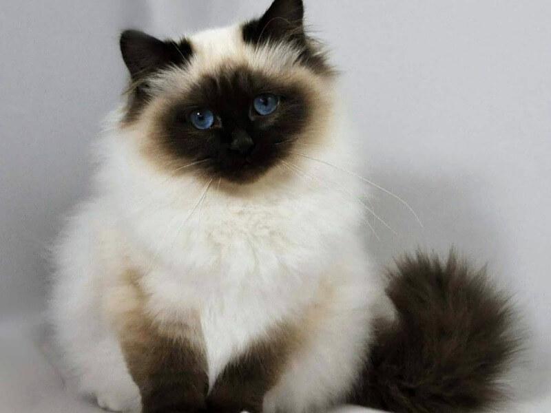 бирманский котенок
