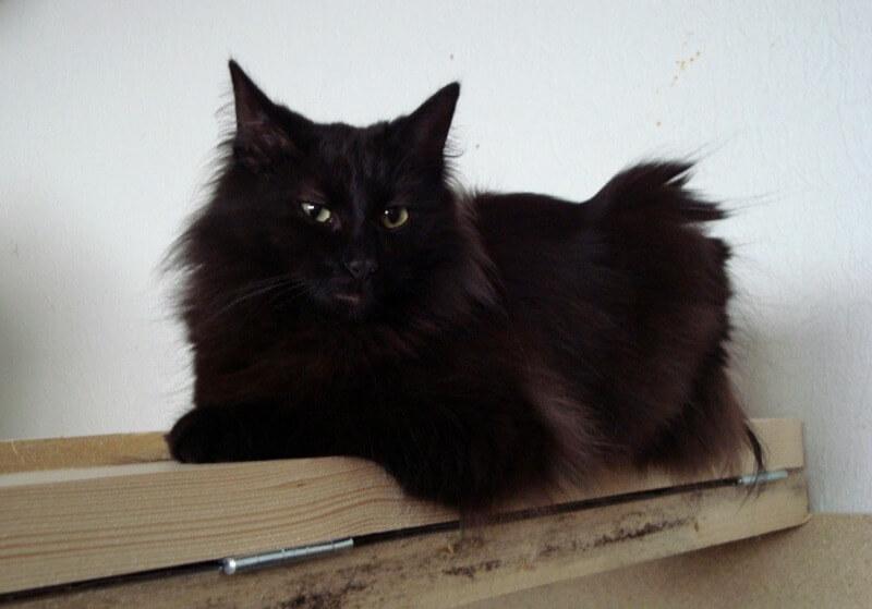 чорна норвезька лісова кішка
