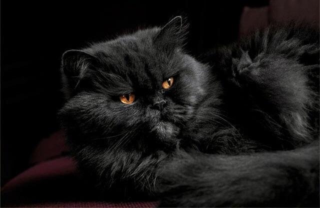 черный перс