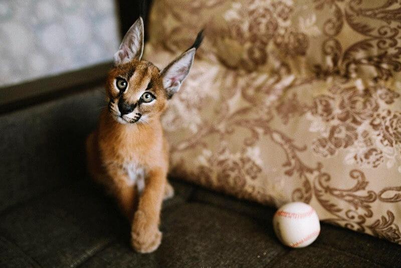 каракал котенок