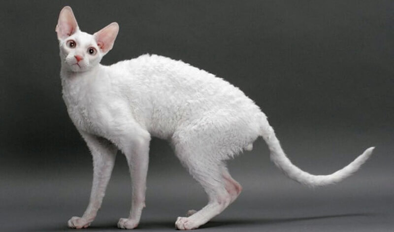 білий корніш рекс
