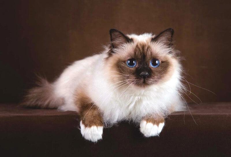 кішка бірма