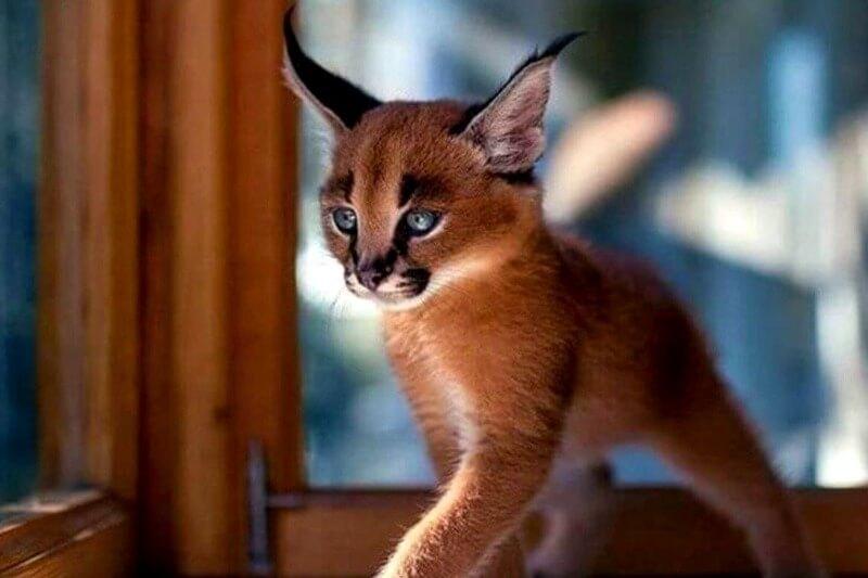 маленьке кошеня каракал