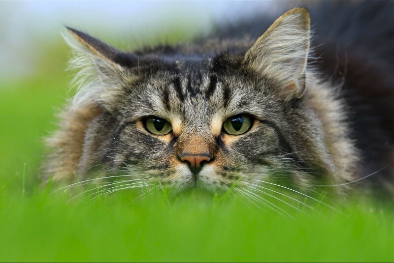 норвезький кіт забарвлення таббі