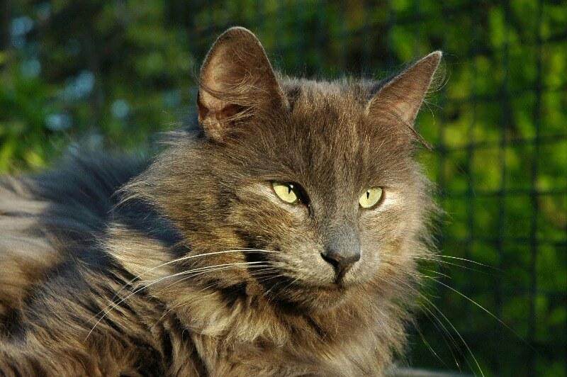 норвезький кіт сірого забарвлення