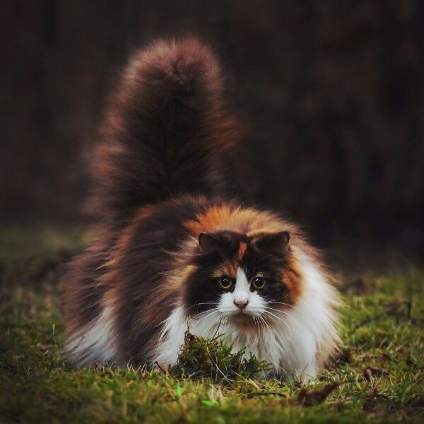 окрас норвезької кішки