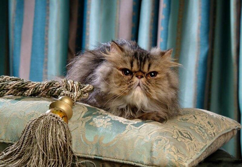 происхождение персидских кошек