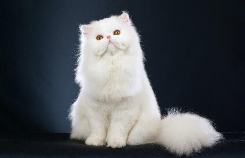 персидский кот белый окрас