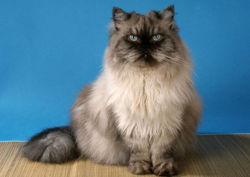 персидский кот колор-поинт