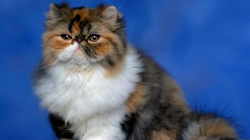 Персидская кошка 🐈 Описание, характер, плюсы, минусы, факты, фото ✔