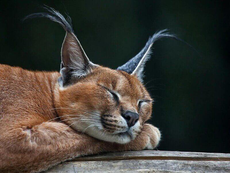 порода котів каракал