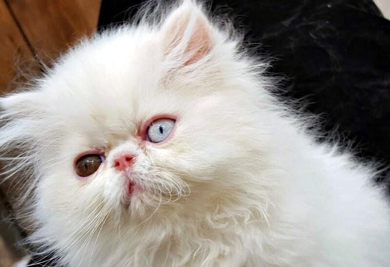 разные глаза персидский кот