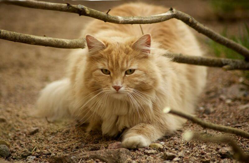 рудий норвезький лісовий кіт