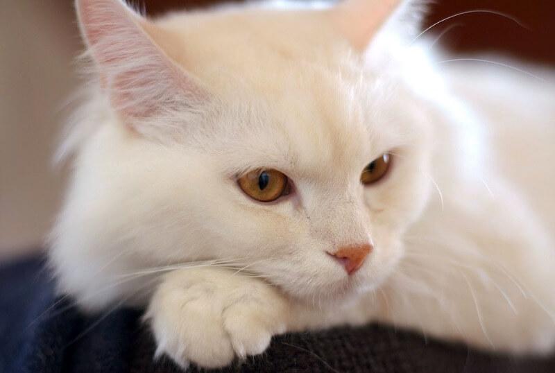 характер турецької ангорської кішки
