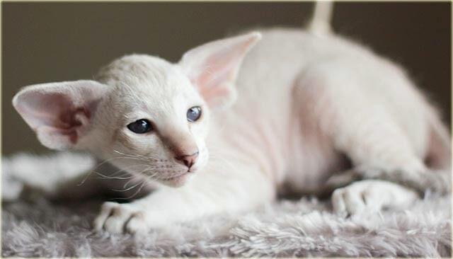 біле кошеня петерболд