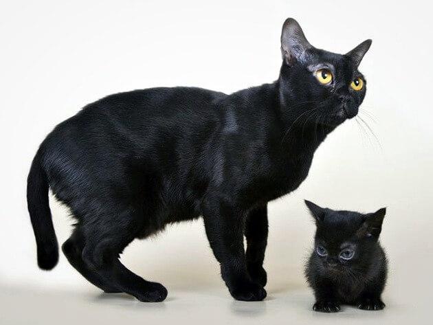 бомбейська кішка особливості очей