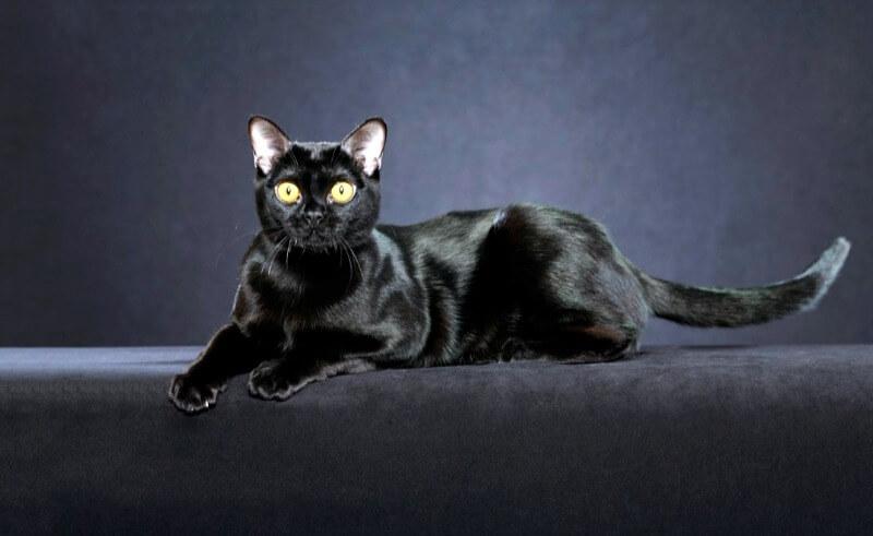 бомбейська кішка