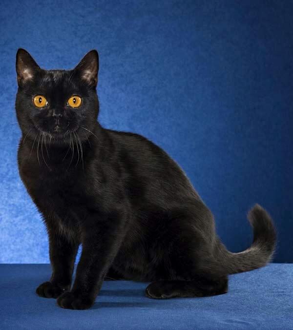 бомбейская порода котов