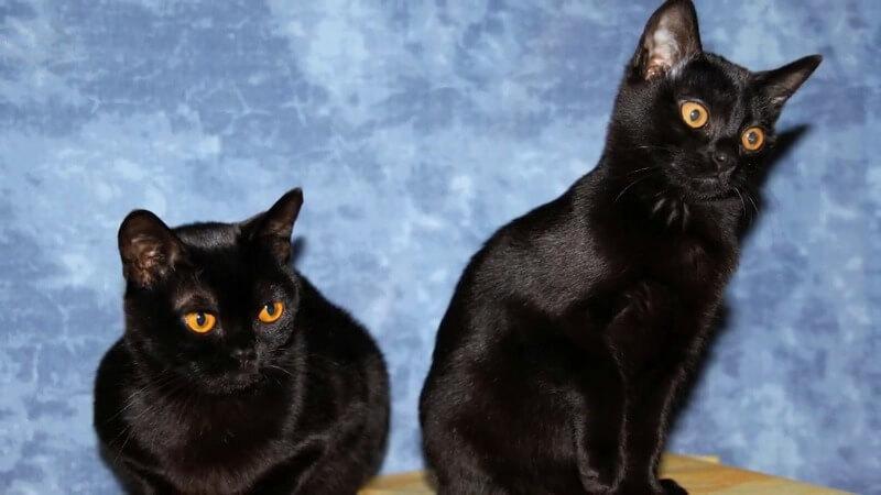 бомбейці кошенята