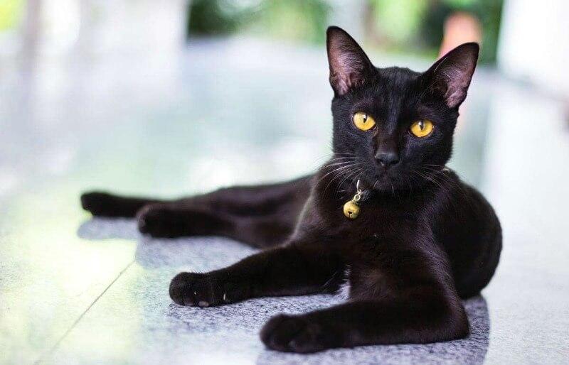 происхождение бомбейской породы кошек