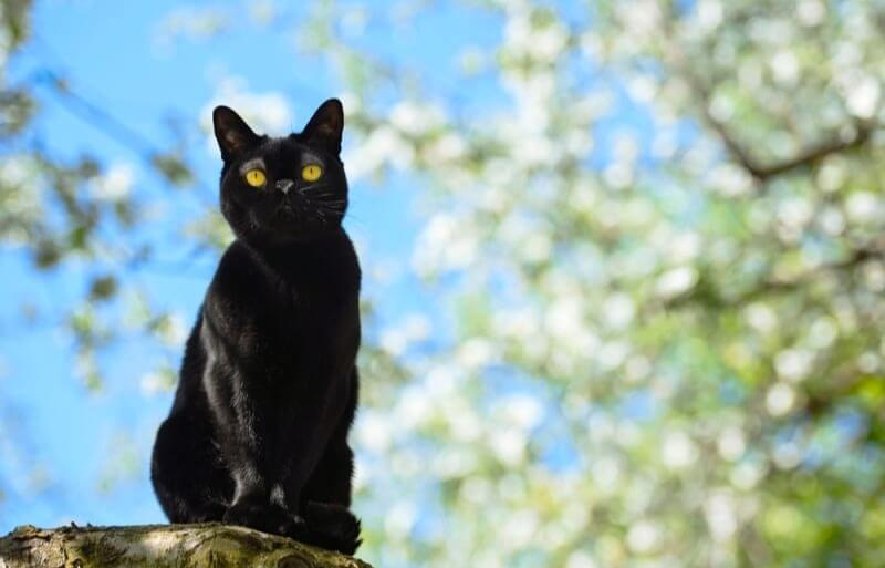 чорний бомбейський кіт