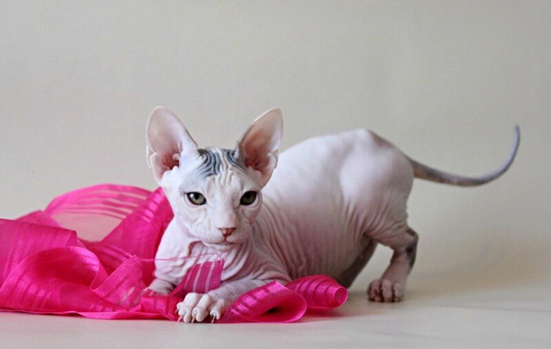 Донский сфинкс характер котенка