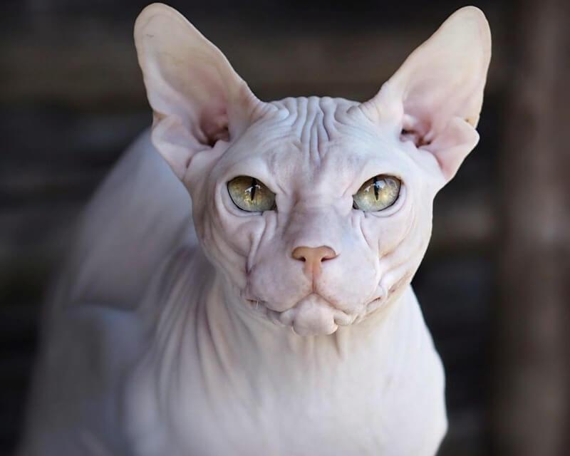 донский сфинкс кот