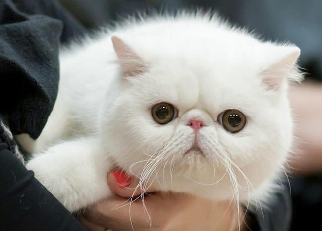 окрасы экзотических кошек