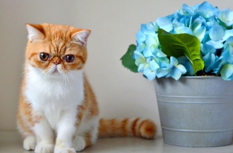 Экзотическая кошка