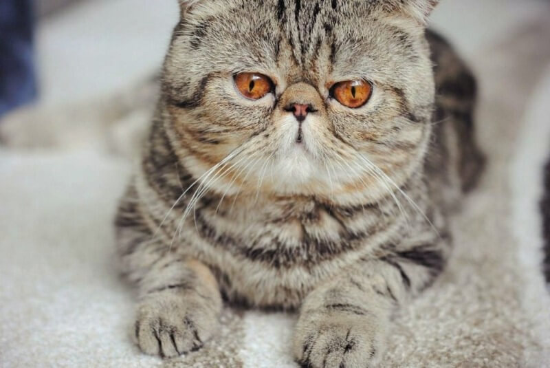 оттенок глаз у экзотических кошек