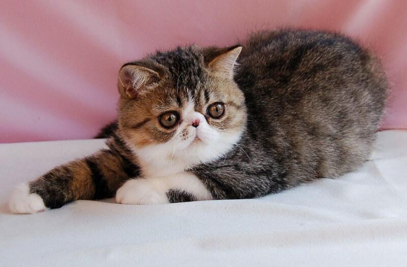 екзотичне кошеня