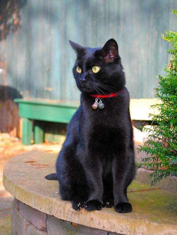 кошка бомбейской породы